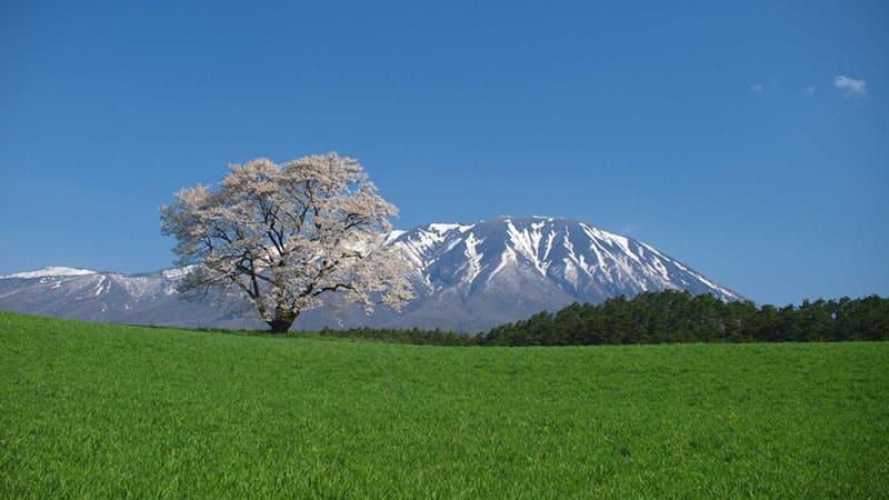 広大な大地に凛と立つ「小岩井農場一本桜」