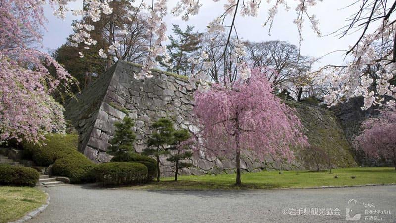 見事な石垣と桜の組み合わせ「盛岡城跡公園」