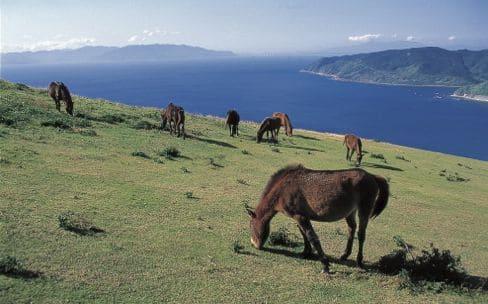 都井岬(といみさき)の野生馬