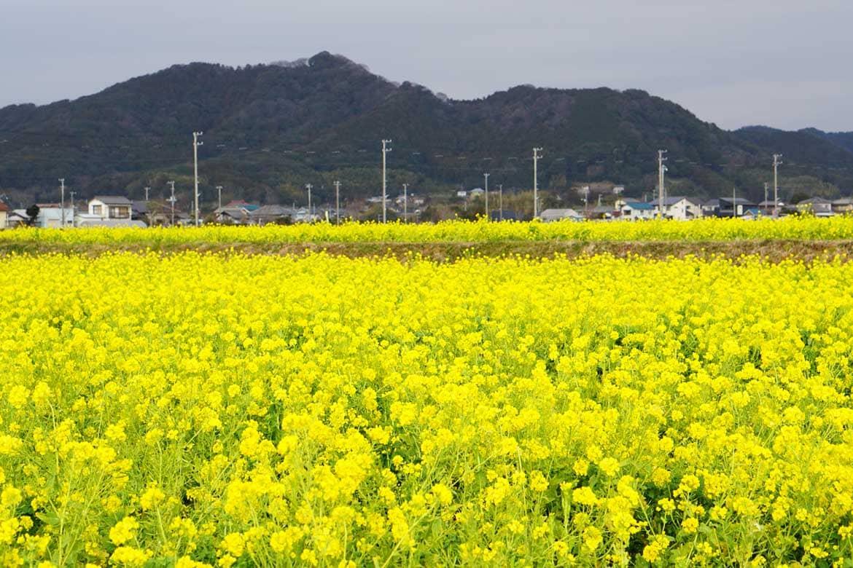 鮮やかに咲く一面の菜の花に春を感じる