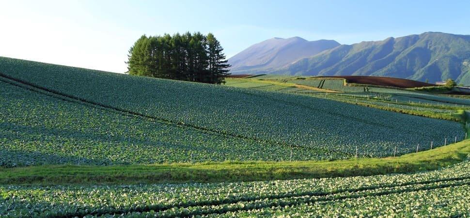 朝露がしたたる高原の恵み「嬬恋高原キャベツ」