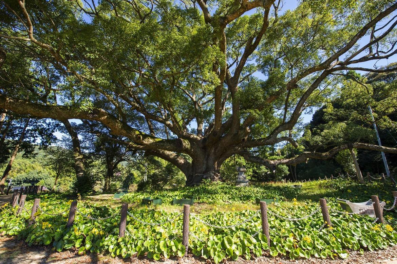 1本の樹なのに森のよう!「川棚のクスの森」