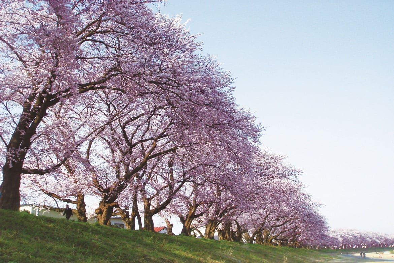 通称・日本一の桜並木!福井の「足羽川桜並木」