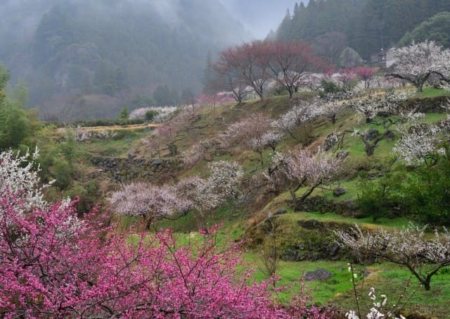 まさに山中の桃源郷!「川売(かおれ)の梅」