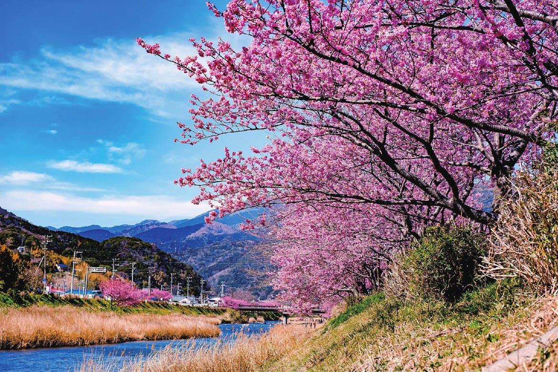 温暖な伊豆の地で、ひと足早い春を告げる「河津桜」
