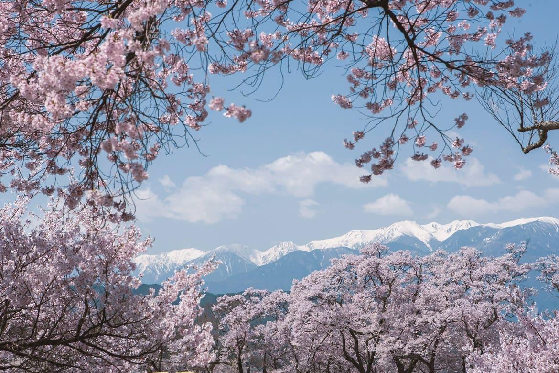 一面に広がる淡紅の桜は天下第一!信州伊那の「高遠城址公園の桜」