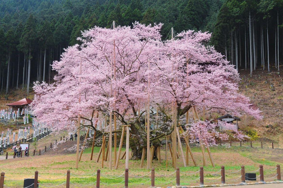 三大巨桜の一つ・岐阜本巣の「淡墨桜」