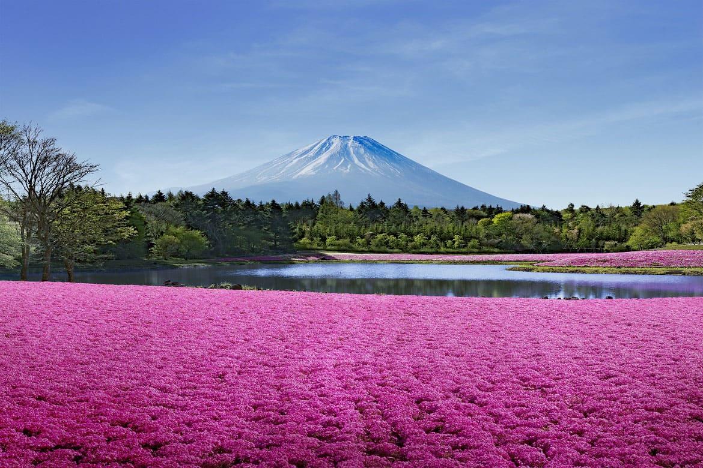 これぞ日本の春!「富士芝桜まつり」