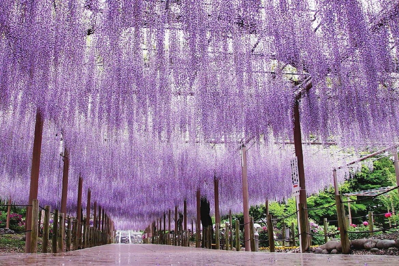 境内に広がる壮麗な情景「曼陀羅寺公園の藤」