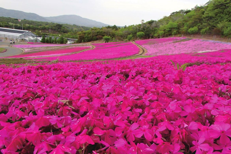 リーズナブルな穴場スポット「志摩市観光農園の芝桜」