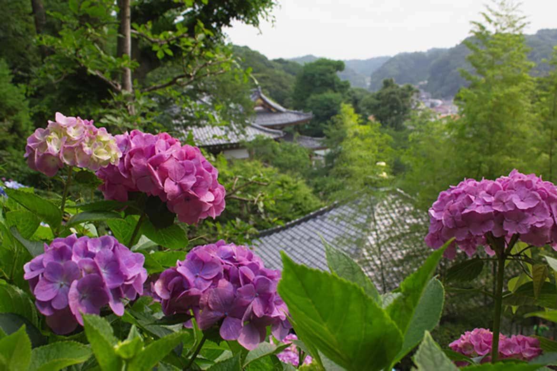 鎌倉を見下ろす景観をやさしく縁取るあじさいが見事「長谷寺(鎌倉市)」