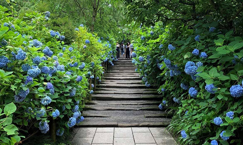 参道に咲く青、青、青…明月院ブルーに心も染まる「明月院(鎌倉市)」