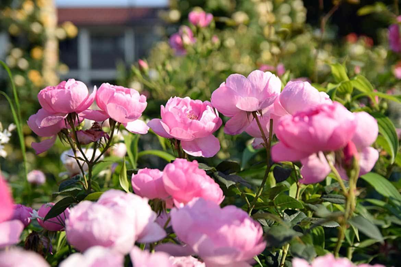 クラシックな洋館に、華やかに咲くバラが映える「港の見える丘公園ローズガーデン(横浜市)」