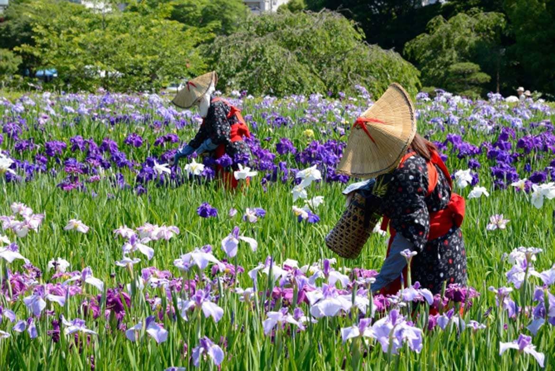 梅雨空にすっきりと映える14万株の花菖蒲「横須賀しょうぶ園(横須賀市)」