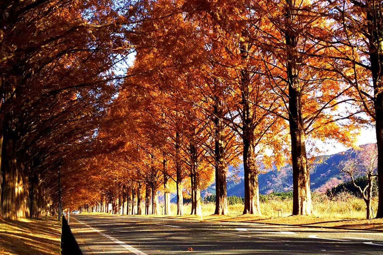 やさしい色合いの紅葉風景が、どこか郷愁を誘う秋の「メタセコイア並木」