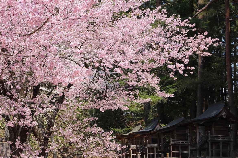愛らしいタカトオコヒガンザクラが咲き誇る「土津(はにつ)神社」