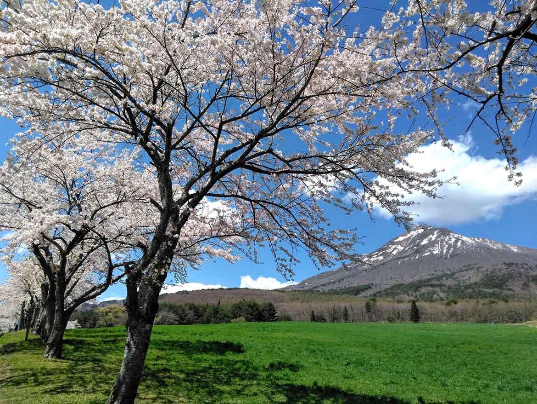 緑の牧草地を彩る桜が爽やかな「磐梯山牧場の桜並木」