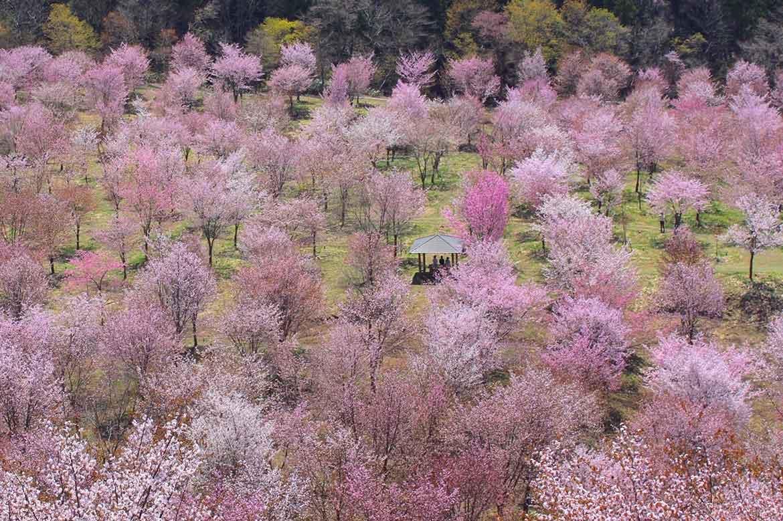 3000本の山桜が鮮やかに山肌を染める「桜峠」