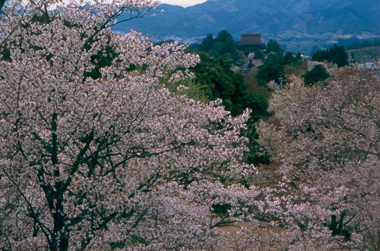 山全体を桜が彩る。日本有数の桜の名所「吉野山」