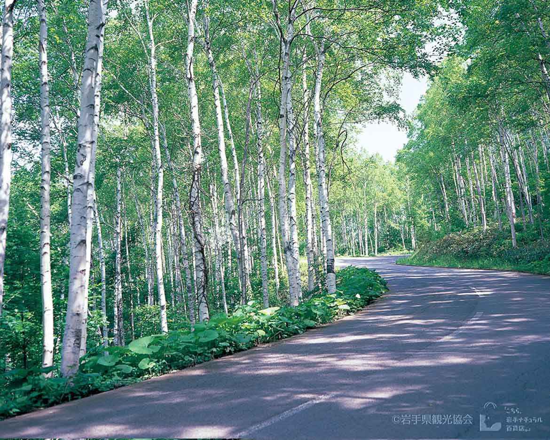キラキラと輝く白樺林で爽快ドライブ「平庭高原」