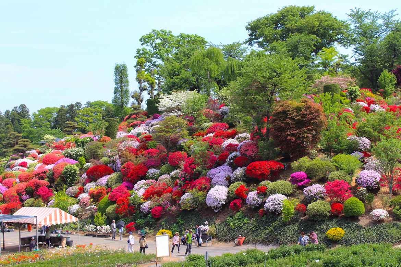 色とりどりのツツジが丘を染める「大桑原(おおかんばら)つつじ園」【須賀川市】