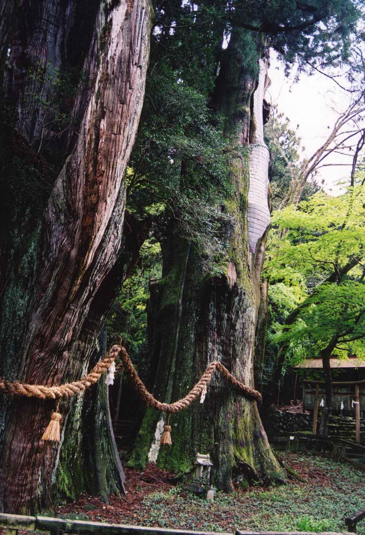 日本一の大杉にパワーをもらう「杉の大杉」